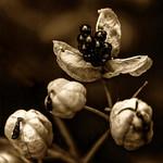 Sherman_Bloom_Blackberry_Lily